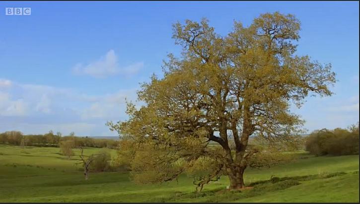 The Wytham Woods oak
