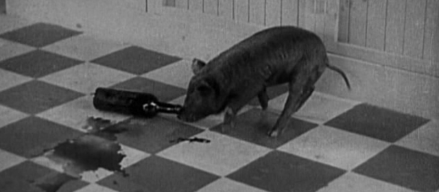 Unalloyed pleasure: a drunk piglet