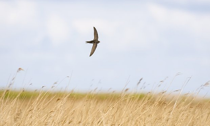 A common swift hunting low over a Norfolk reedbed.