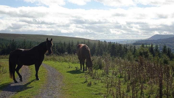 Welsh cobs on Mynydd Ddu