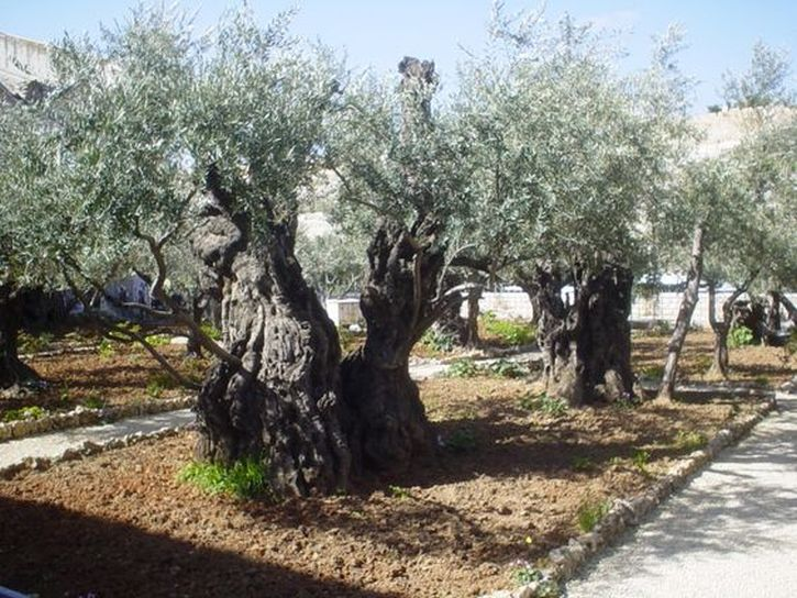 Olive trees in the Garden of Gethsemene, Palestine