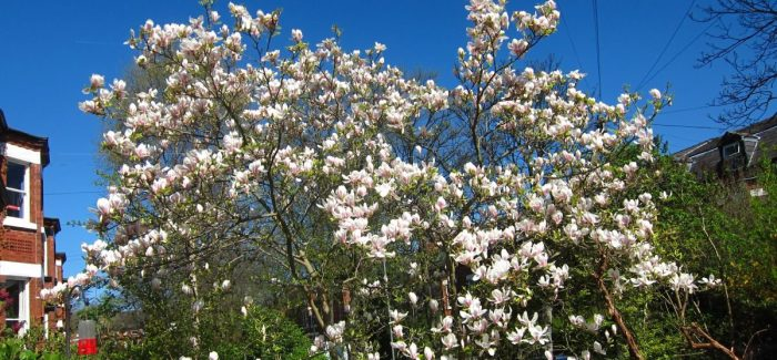 To plant a tree: a love song to a magnolia planted thirty years ago