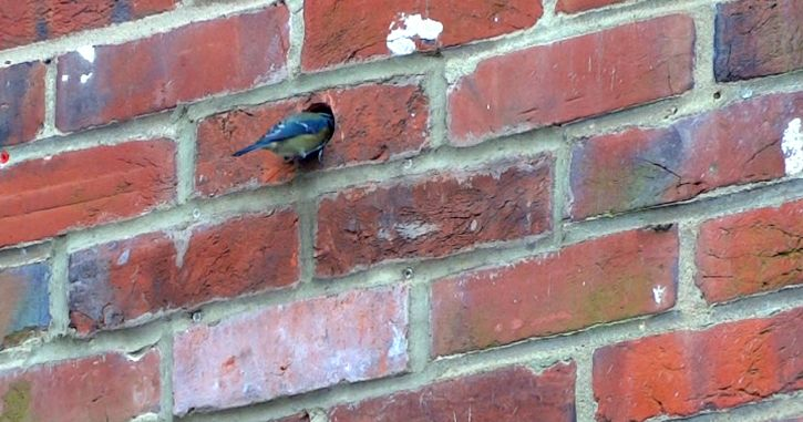 Blue tit entering a nest made in a hole in a brick wall