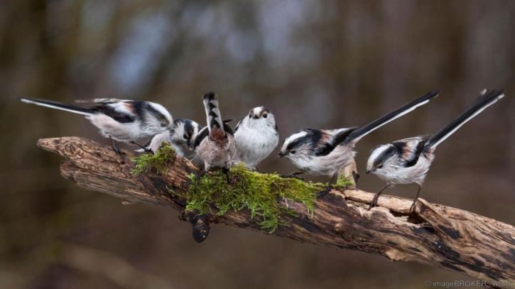 Long-tailed tits gathering nesting material